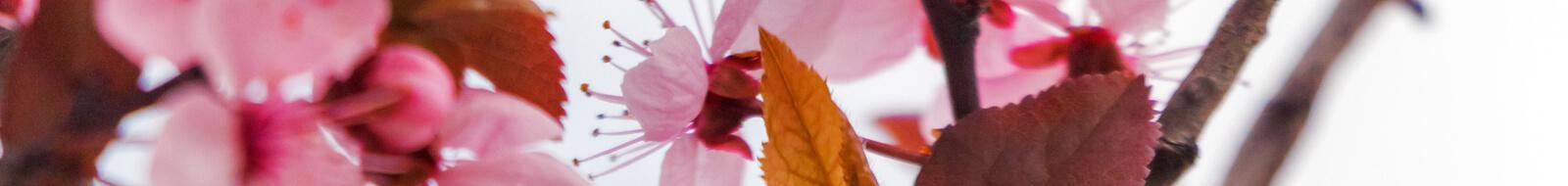 bloom blossom cherry blossom